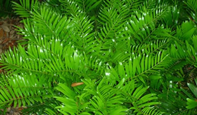 Buy Coontie greens
