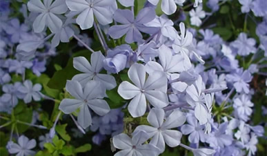 Buy Plumbago Blue & White